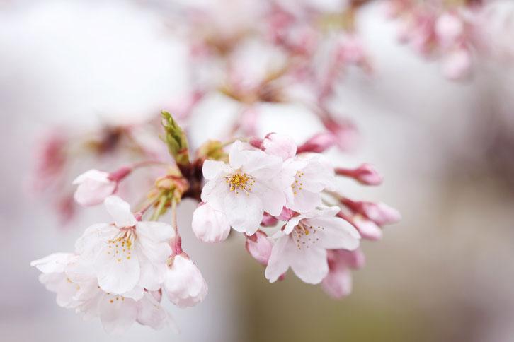 コロボックル colobockle 桜