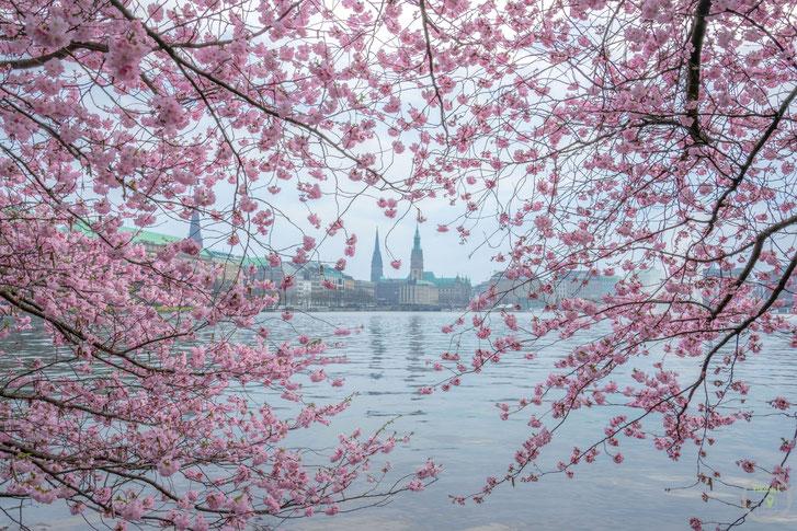Hamburg Kirschblüte Alter Rathaus Deutschland