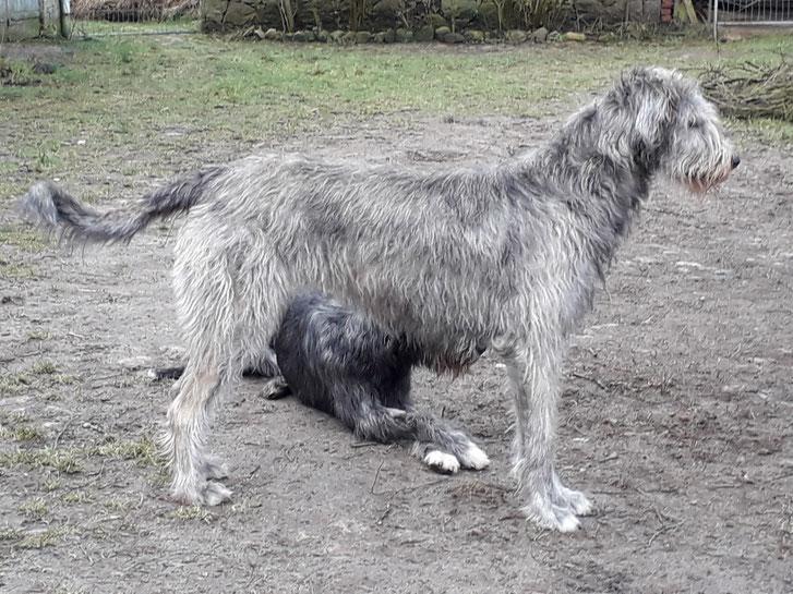 BiGi's Wolf Calliope