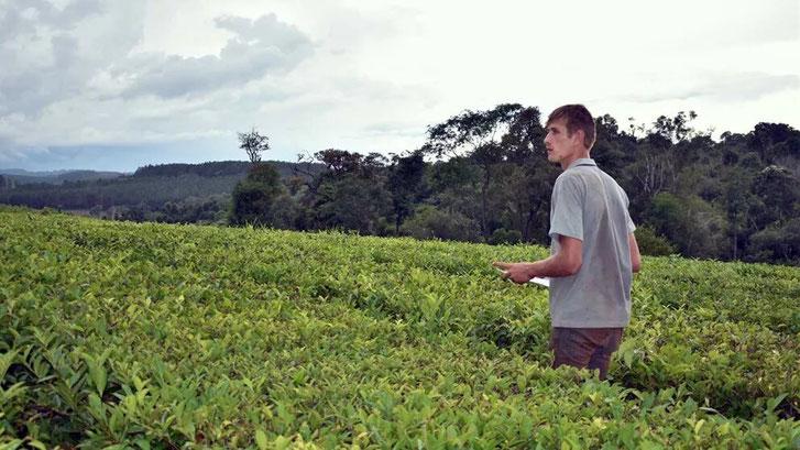 El té vuelve a ser uno de los principales protagonistas de la economía agropecuaria misionera. Foto: Carina Martínez