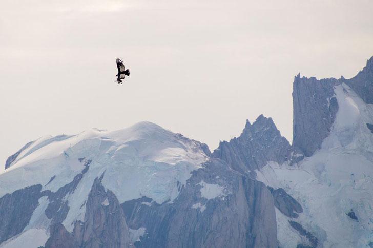 Kondor, Patagonien