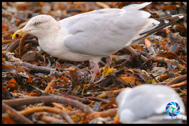 Ringed hering gull on Heligoland