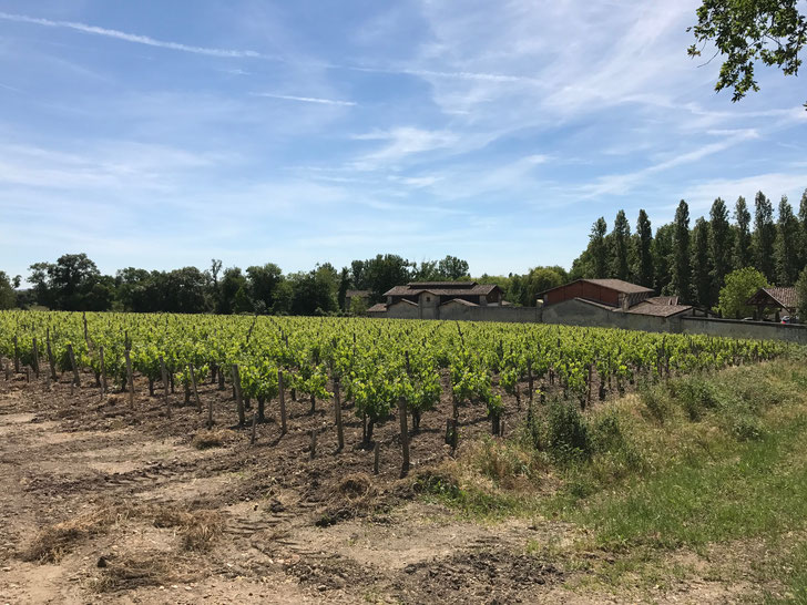 Leoville Barton vineyards, St Julien