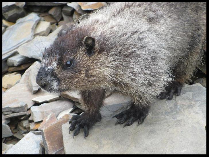 Marmotte qui est venue pratiquement à nos pieds !