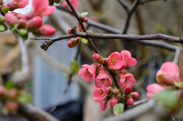 dieartigeGARTEN // März, Frühlingsgarten - die Blüte der japanischen Zierquitte