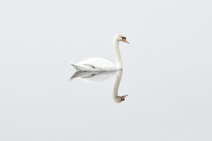 CIGNO BIANCO. ISPIRAZIONE LIV COLLEZIONE ESTHER DALLA VALLE. WHITE SWAN. LIV INSPIRATION. ESTHER DALLA VALLE COLLECTION