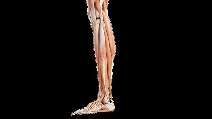 Vista laterale muscoli della gamba