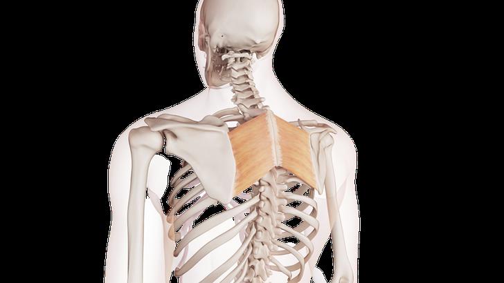 Muscoli Romboidi