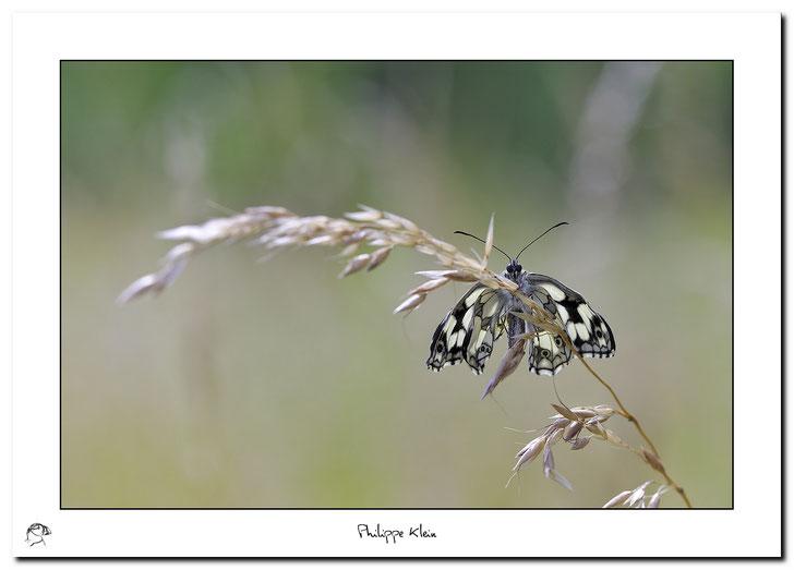 Demi-deuil (Melanargia galathea)