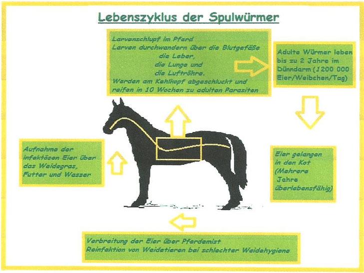Lebenszyklus Askariden - copyright A. Böddeling