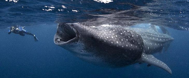 Lo squalo balena, unica specie del genere Rhincodon e della famiglia Rhincodontidae, è il più grande squalo esistente.