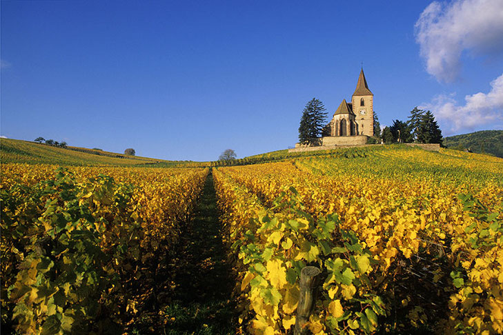 L'église de Hunawihr, entourée de son cimetière fortifiée et de ses vignobles