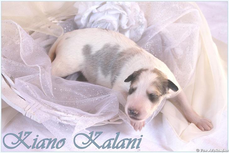 Sable and white colored borzoi puppies in Germany! Borzoi breeder Nadja Koschwitz, Germany! European, happy borzois of heartly breeding of Nadja Koschwitz, GERMANY!