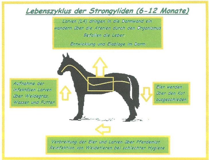 Lebenszyklus Strongyliden - copyright A. Böddeling