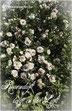 Rosenblog Rosen Hexenrosengarten