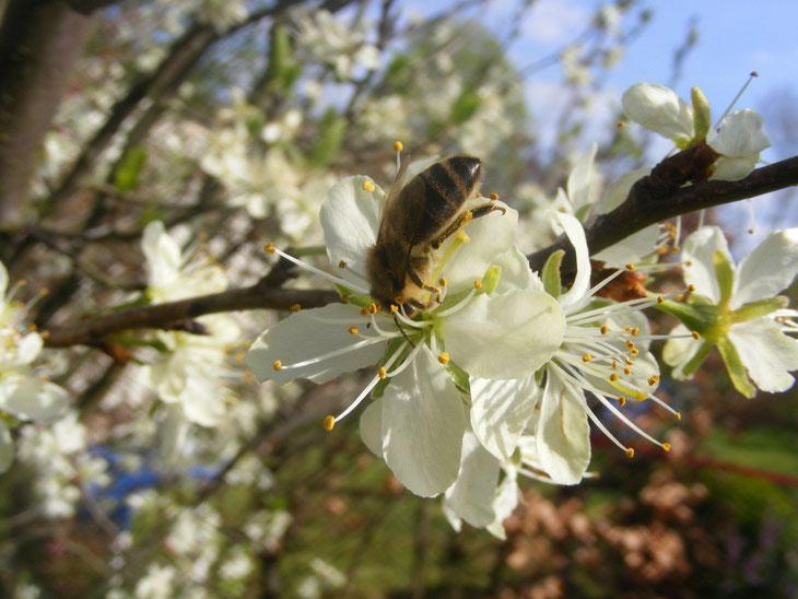 (Biene) Glück entsteht oft durch Aufmerksamkeit für die kleinen Dinge, Unglück oft durch Vernachlässigung kleiner Dinge. [Wilhelm Busch] (Foto Christiane Ziller)