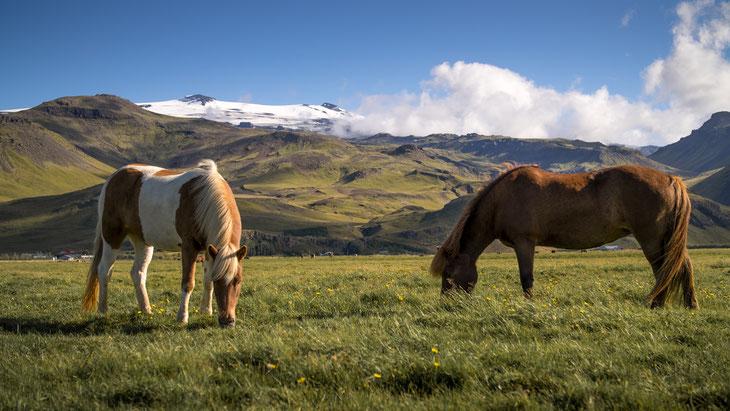 Island-Pferde grasen am Fuße des Eyjafjallajökull, dessen Ausbruch 2010, den Flugverkehr in Europa für mehrere Tage lahm legte.