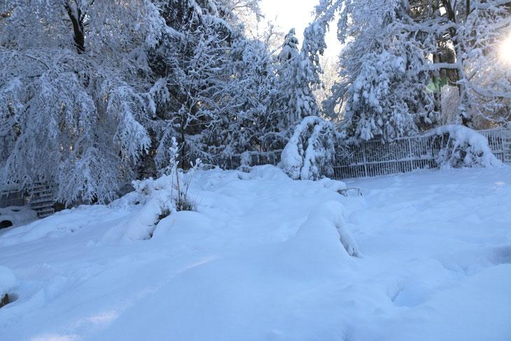 Das ist der Bambus unter 40 cm Schnee
