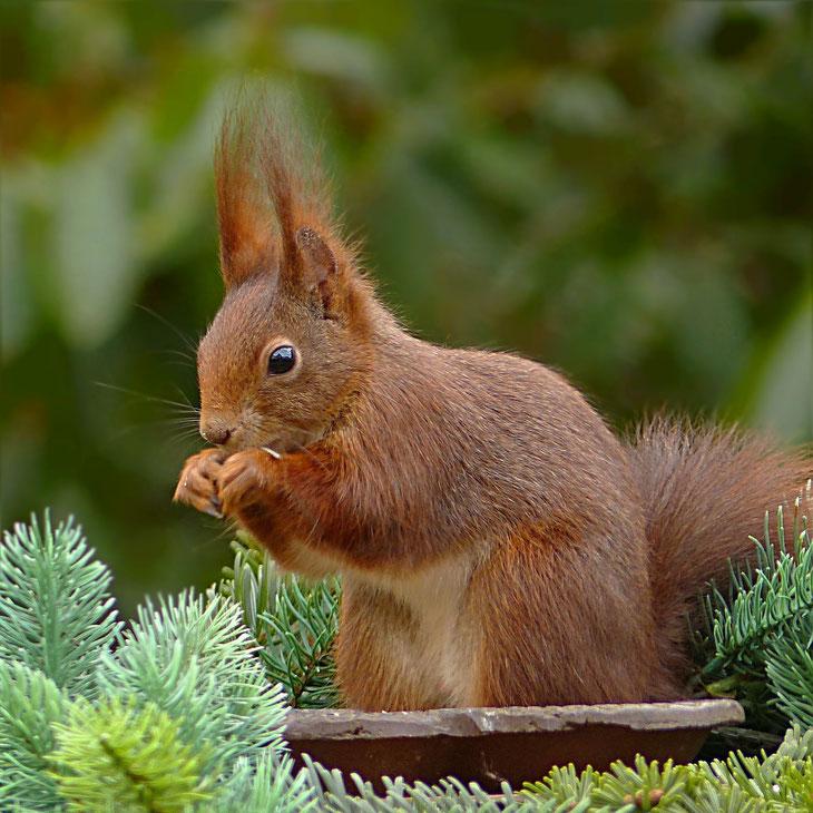 Eichhörnchen wird gefüttert und knabbert an einem Sonnenblumenkern