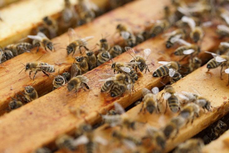 Bienenzuchtverein, Bienen, Merkstein, Heinsberg-Merkstein, Imker, Verein, Honig