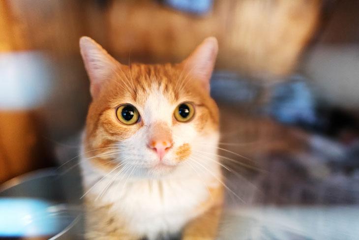 尿路結石症になりそうな気配のある猫たちの一頭であるダウさん。