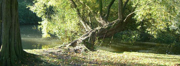 Baum der mit dem Stamm übers Wasser wächst.