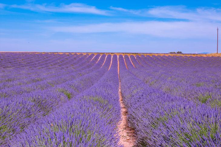 lange Reihen von lila blühendem Lavendel auf einem Lavendelfeld in der Provende ©Sandra Wagner auf Pixabay