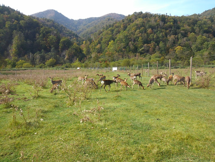 ドリーム ヒル・トムラウシが手がける養鹿牧場。最近は人間に対する敵意も薄くなり、管理が楽になってきたという。