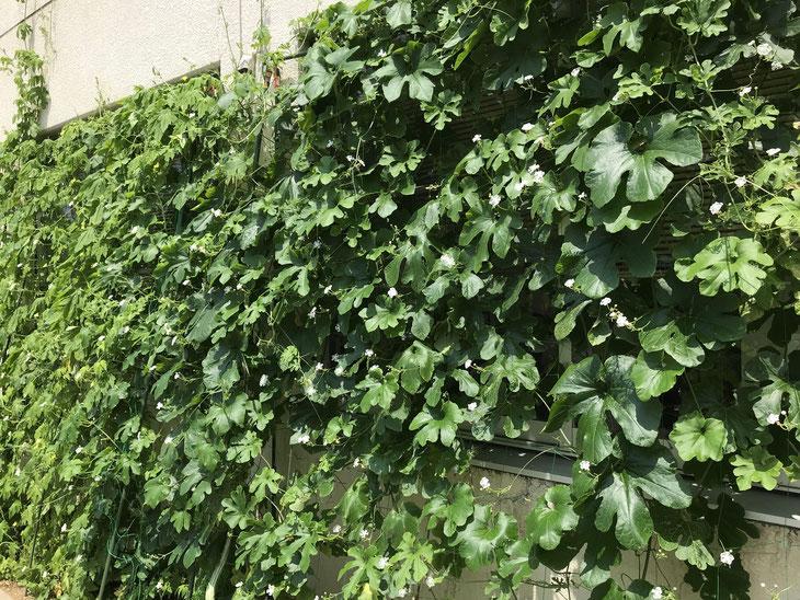 向かって左はゴーヤとそして右にセイロン瓜のグリーンカーテン