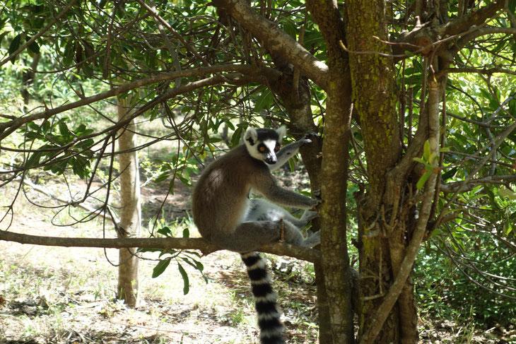 森林破壊によって絶滅への道へ進むマダガスカルのワオキツネザル