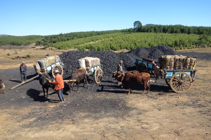 大規模な炭の生産の現場。マダガスカルには珍しく植林をしながら炭をつくっていました。