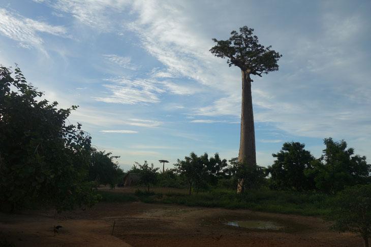 バオバブは「森の母」と呼ばれる木。でも、その家族は奪われ続け、今では「母」のみが存在することに。