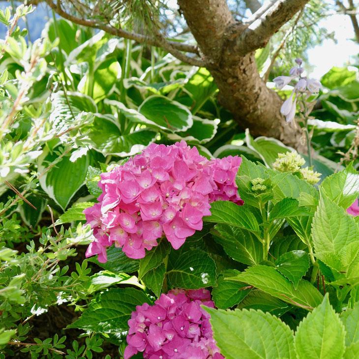 Rosa Hortensien im Garten