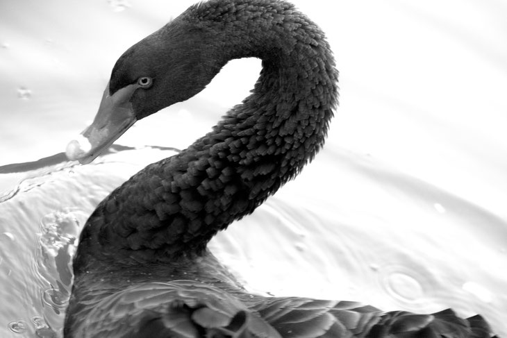 CIGNO NERO.  VENETIAN BLACK SWAN. LIV INSPIRATION. ESTHER DALLA VALLE COLLECTION