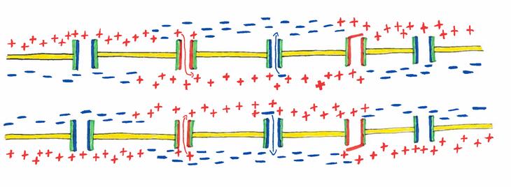 Abb. 1: Kontinuierliche Erregungsweiterleitung am Axon