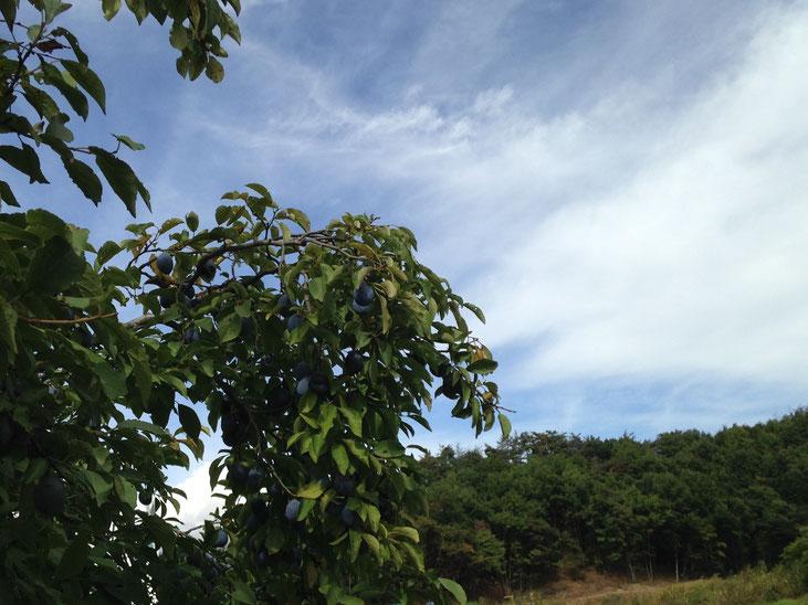プルーン畑