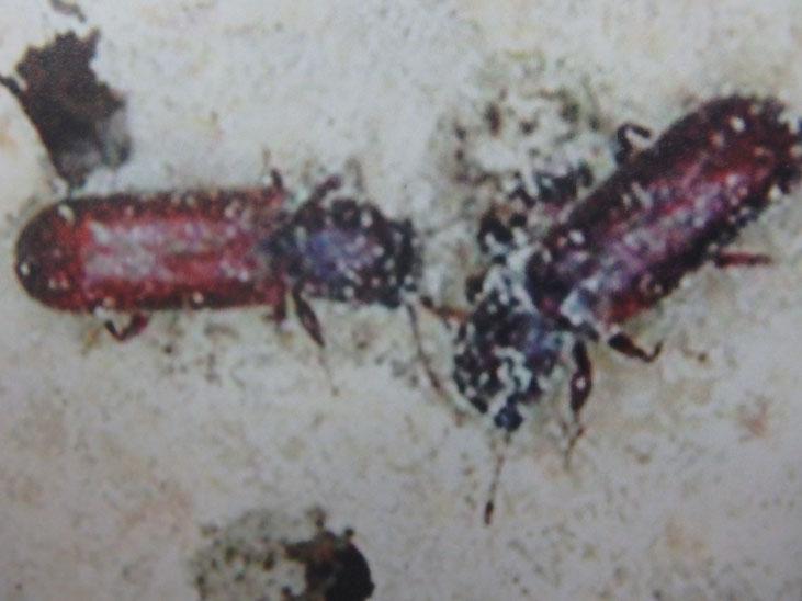アフリカヒラタキクイムシ