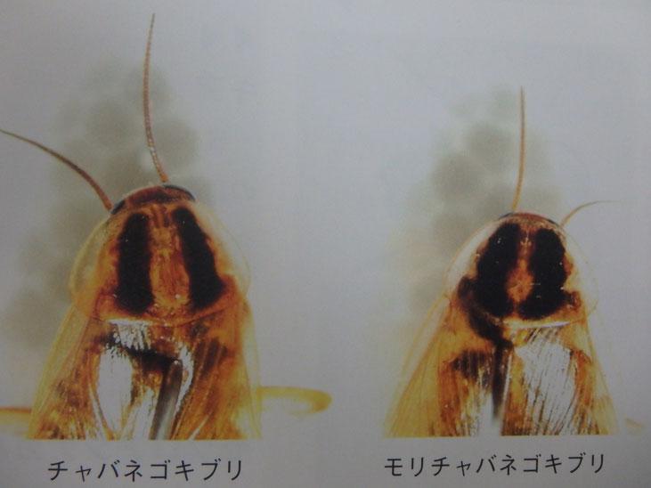 チャバネゴキブリとモリチャバネゴキブリ