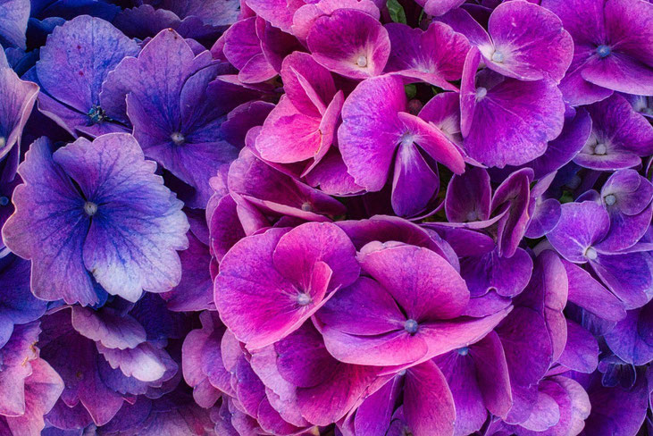 Lieber glücklich mit Heilzahlen, Herzensbusiness, Hochsensibilität, Hypnose, Hortensie als Kraftblüte #Heilzahlen #Herzensbusiness #Hochsensibilität #Hypnose #Hortensie