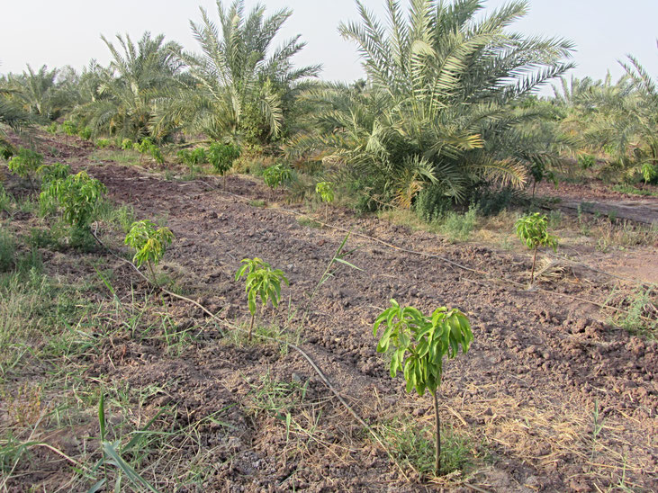Drip irrigation for tree orchard (mango & date palm) in Egypt