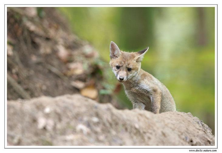 Renard roux - Vulpes vulpes - Red Fox (réf. PdM 2013_092)