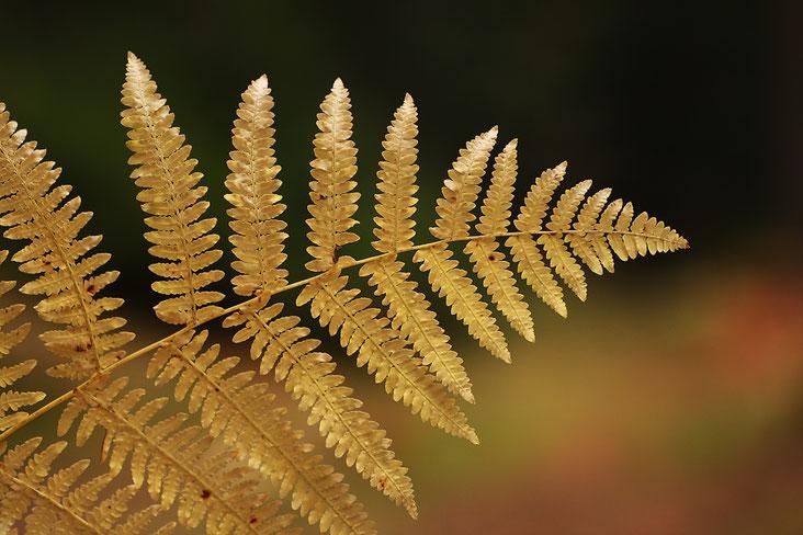 Makro, Erzgebirge, klein, Farn, Farnwedel, Farnkraut, Herbstfarben