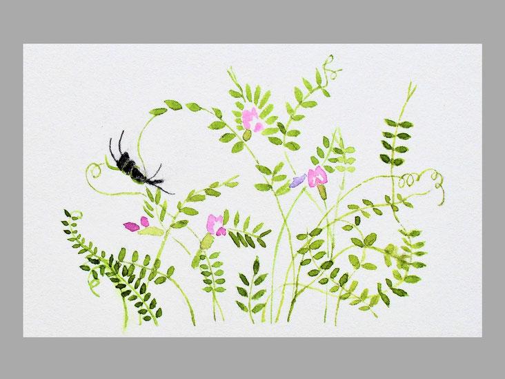 鳥野豌豆(カラスノエンドウ) マメ科の越年草