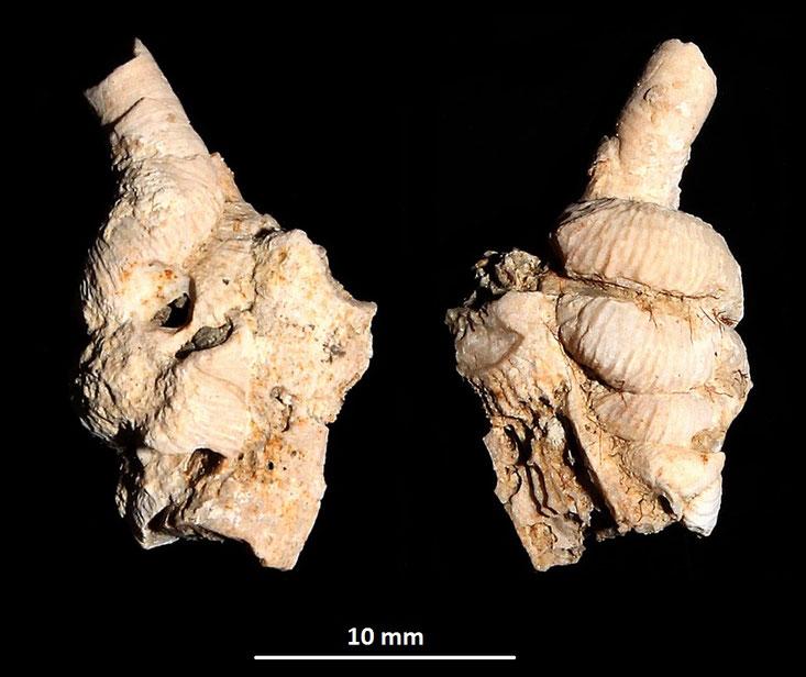 Petaloconchus intortus, Macchia della Turchina