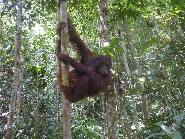 die nächste Sensation: Juvi und ihr Baby... ®Sintang Orangutan Center