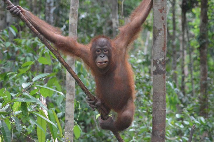 ... und nun Digo  ®Sintang Orangutan Center