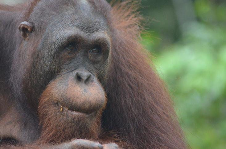 Mamat, ®Sintang Orangutan Center