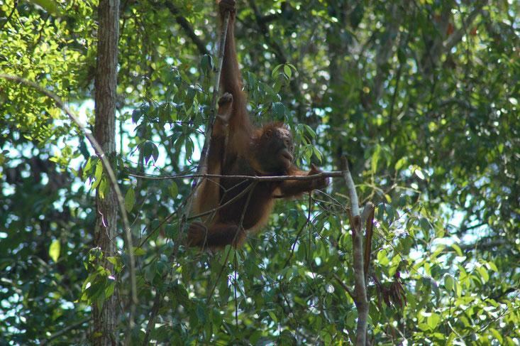 Hope, ®Sintang Orangutan Center