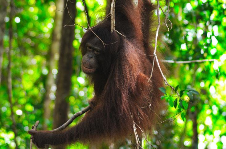 Tanjung in Freiheit ®Sintang Orangutancenter