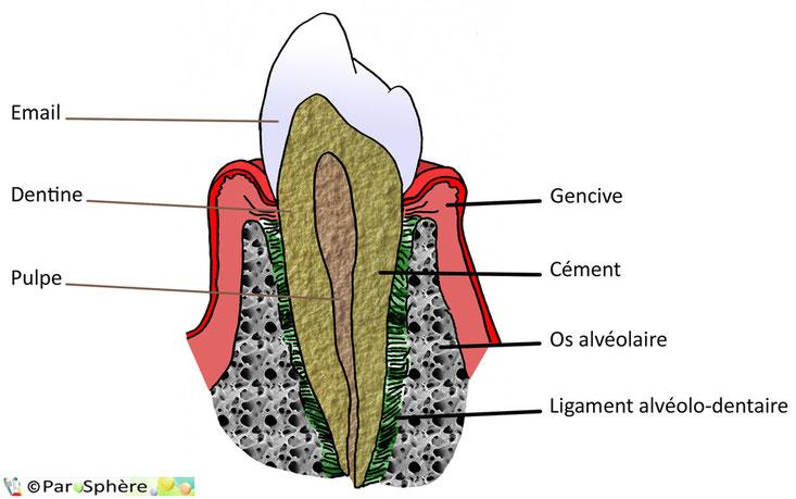 Anatomie de la dent et du parodonte